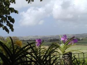 Vandas in Barbados
