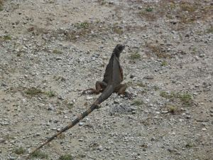 Iguana in Grand Cayman